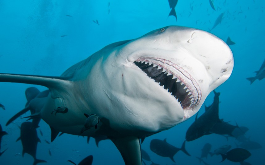 Bull shark closeup in Fiji