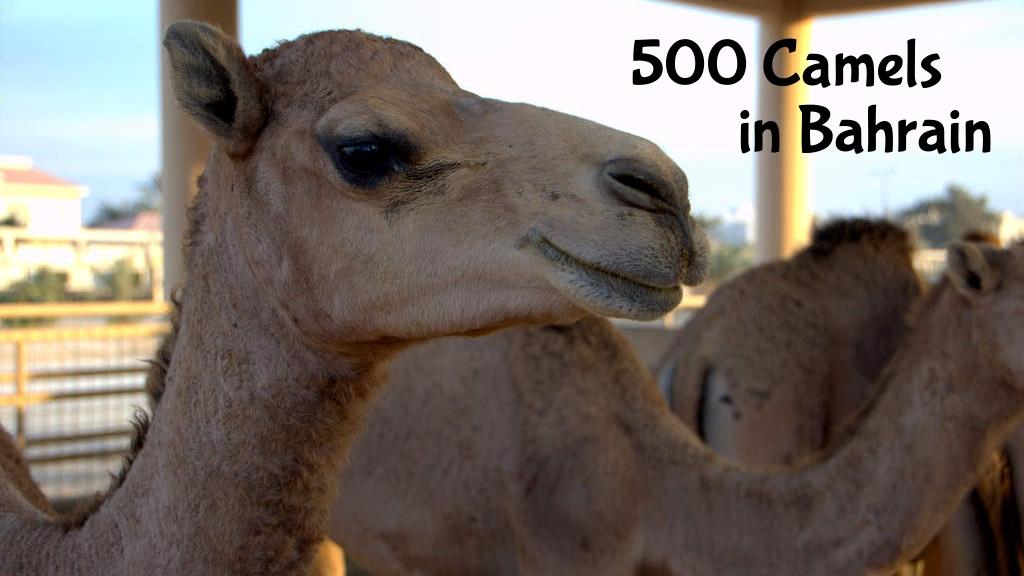 500 Camels in Bahrain
