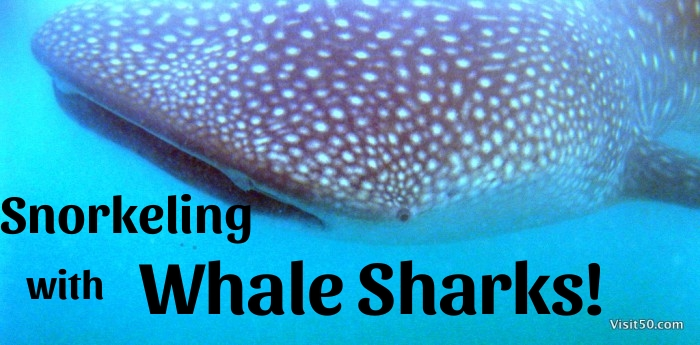 Snorkeling with Whale Sharks!