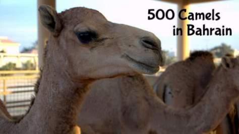 500-Camels-in-Bahrain-Visit50