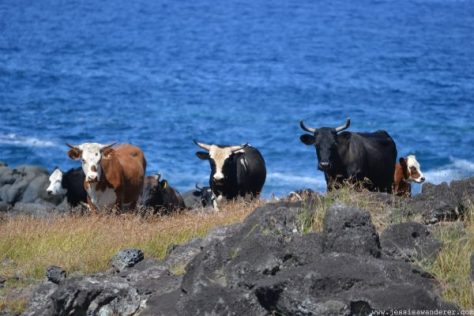 animals in Easter Island