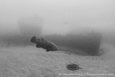 Goliath grouper and stingray on Corridor wrecks