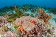 Beautiful slipper lobster