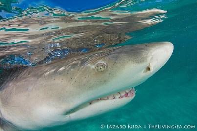 Lemon Shark close up underwater