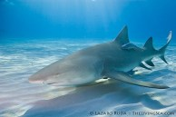 Lemon sharks, like humans, have the ability of dilating their eyes in bright light or darkness in order to see better.