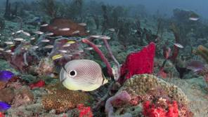 This Four-eye Butterfly Fish seems to have quite a following of juvenile Grunts and Wrasses