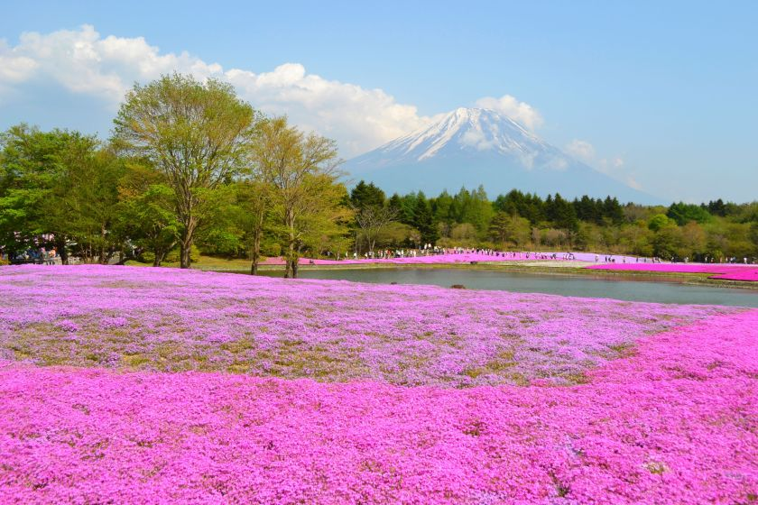 solo travel 2015 Japan, Mnt Fuji blooming pink flower valley