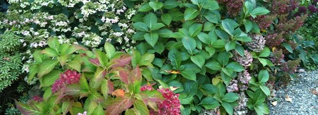Le jardin d'ombre - Hydrangeas