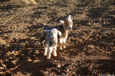 Mongolie, chèvres