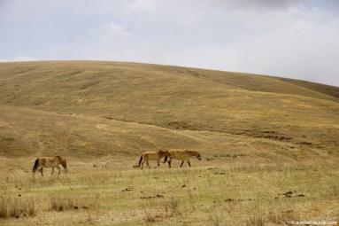 Mongolie, Parc national de Khustaïn, chevaux de Przewalski