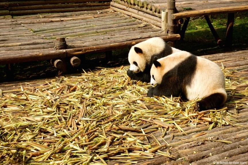Chine, Chengdu, pandas géants