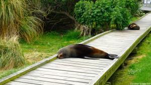 Nouvelle-Zélande, des phoques