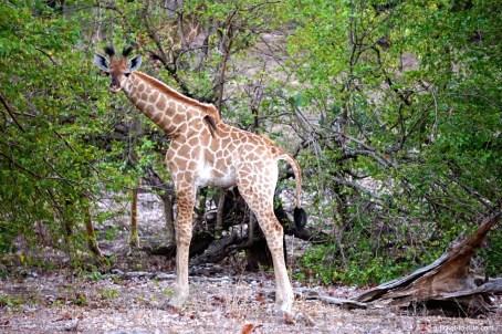 Afrique du sud, parc Kruger