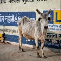 Inde-vache
