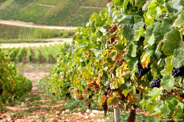 Raisins rouges dans les vignes de Sancerre