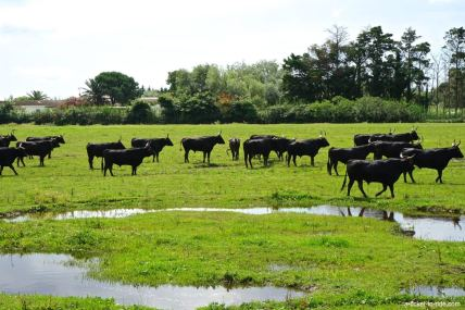 Camargue, manade de taureaux