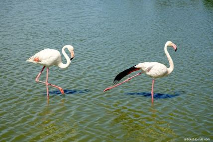 Camargue, parc ornithologique, flamant rose