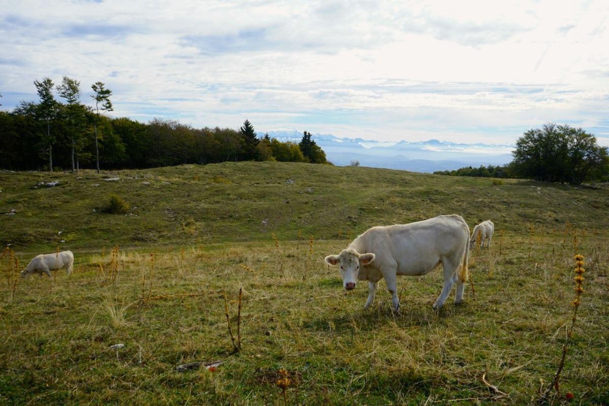 Ain, Plateau de Retord, vue sur les Alpes et les vaches