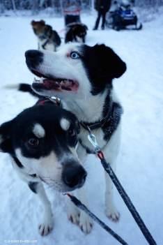 Laponie finlandaise, chiens de traineau