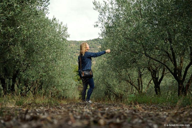 Drôme, champs d'oliviers