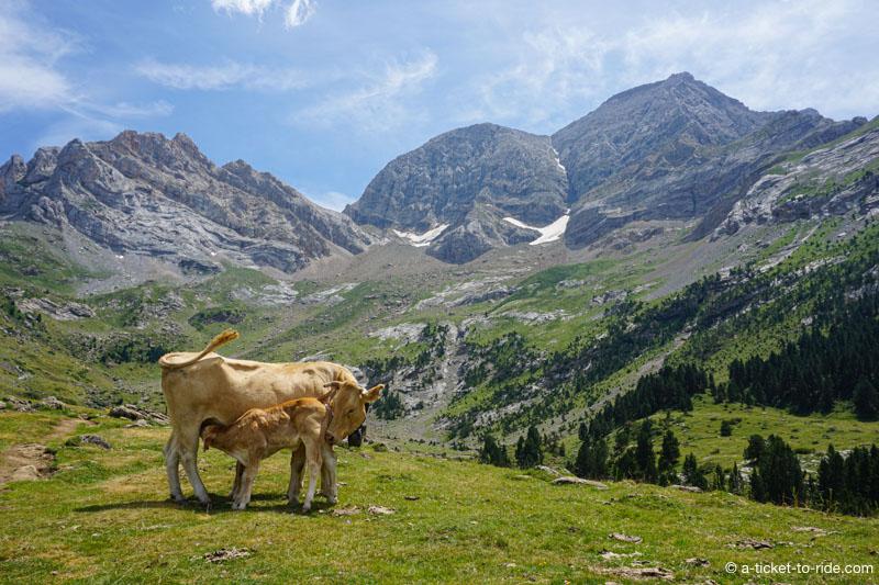 Pyrénées, vaches