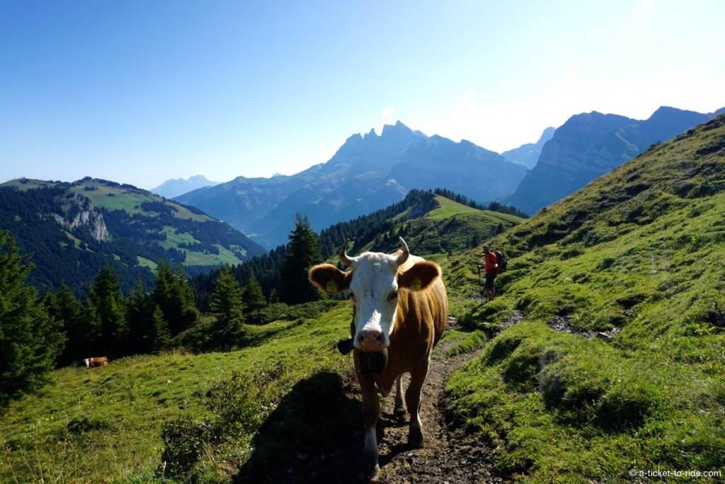 Vue sur les Dents du Midi et une vache