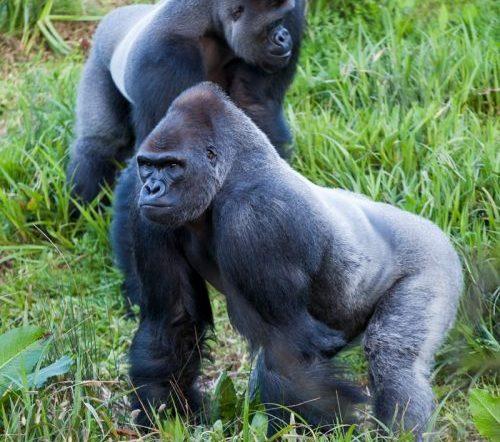 Batı Gorili