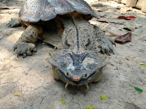 matamata-kaplumbağası