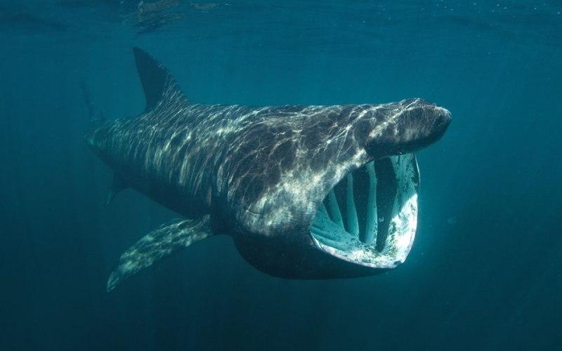 Camgöz Köpekbalığı