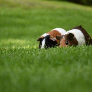 Bir Evcil Hayvan Olarak Gine Domuzu Bakımı