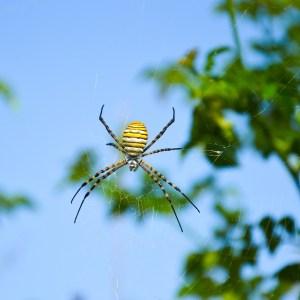 Uçan Örümcekler