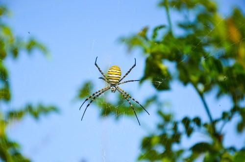 uçan örümcek