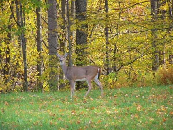 Ashe County Woodlands Wildlife