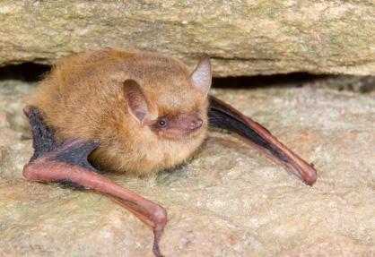 Bats Bat Control Bat Removal Experts A1 Wildlife