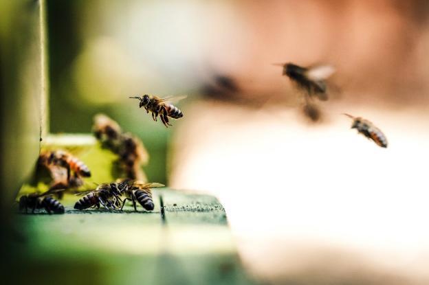 Varias abejas revolotean en torno a una estructura de madera, en una imagen de archivo. / ERIC WARD