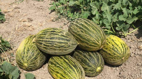 MELÓN DE CARRIZAL producto estrella que se cultiva en el Parque Natural Agrario de los Carrizales