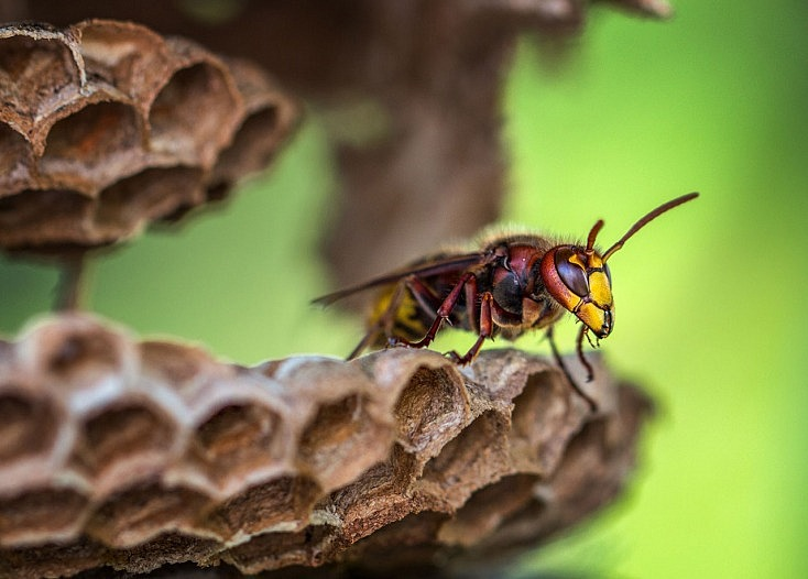 consejos-fotografiar-insectos-macro-macrofotografia-bichos-avispa-colmena-734x526