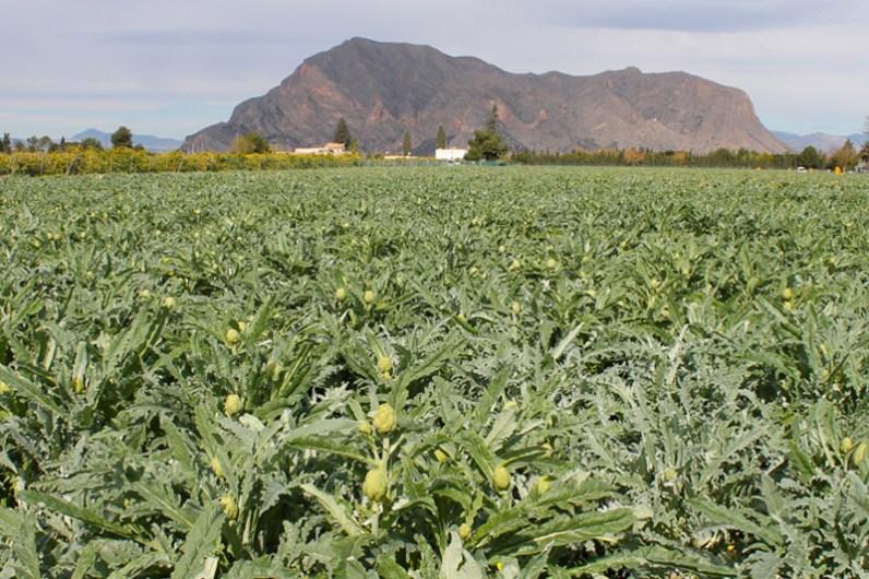 La alcachofa es el producto estrella de la Vega Baja del Segura (comarca del Sur de Alicante). Estas tierras destacan por su valor agrícola, la riqueza del patrimonio hidráulico, su entorno medioambiental y el clima mediterráneo.