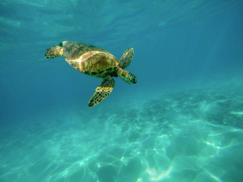 Tortugas verdes confunden plástico con algas marinas. Foto: Pixabay