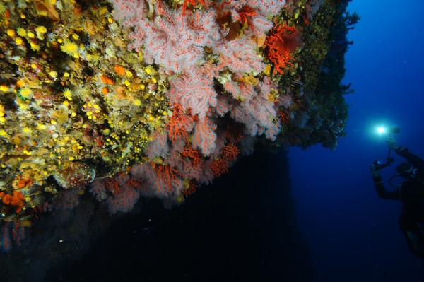 Las algas, especies estructurales de las costas el norte, están desapareciendo. / Joaquim Garrabou