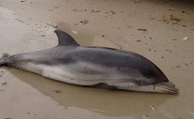 Aparecen siete delfines varados en Dénia, la Malvarrosa y El Saler como consecuencia del temporal 'Gloria'