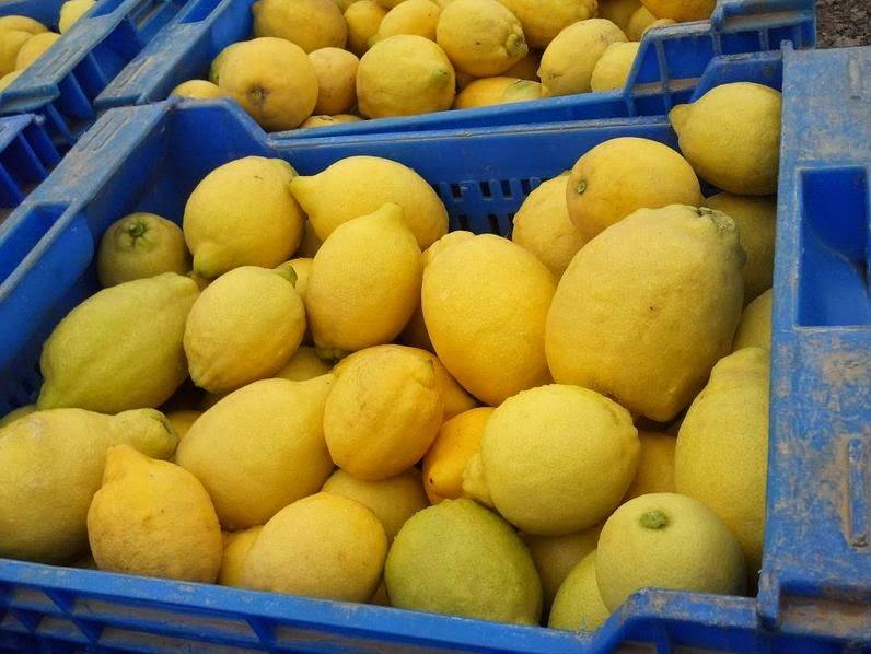 ASAJA Alicante limón Verna