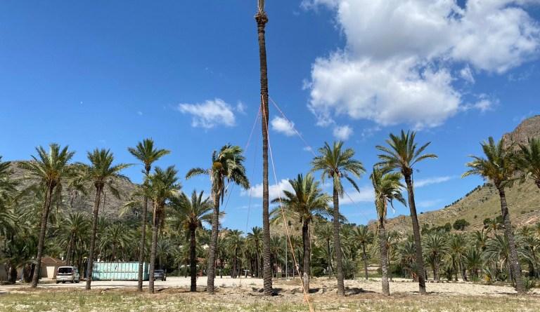 Orihuela confirma la supervivencia de una palmera datilera monumental  de 17 metros trasplantada hace seis meses, experiencia pionera en la Comunidad Valenciana