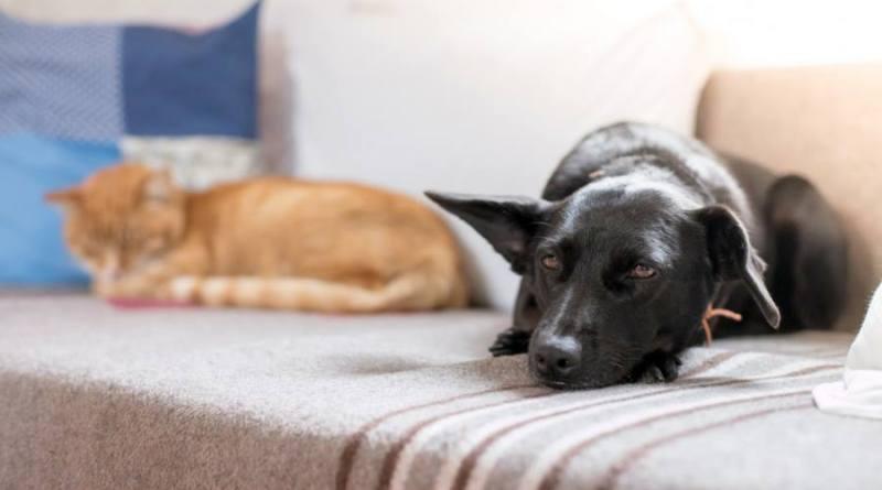 La UMH participa en un proyecto financiado por el Instituto de Salud Carlos III para detectar anticuerpos del Covid19 en mascotas y linces
