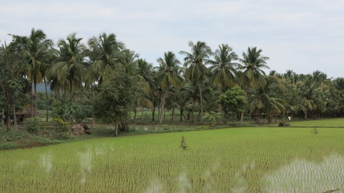coconut trees by the side of a rice field