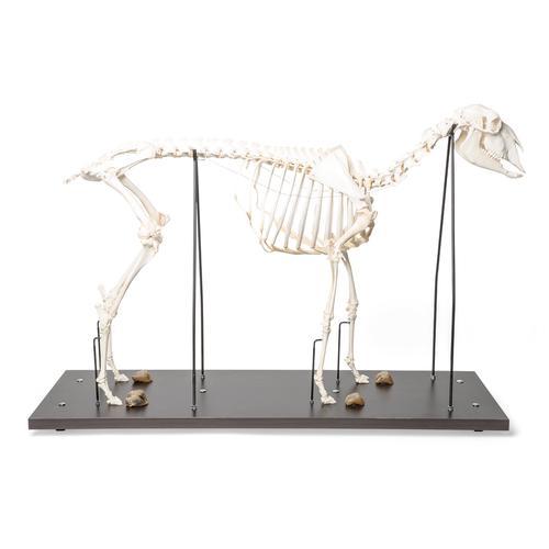 sheep skeleton diagram johnson 115 v4 wiring online domestic ovis aries female specimen 1021024 skeletal system