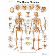 Human Bone Structure Diagram 2010 Ford F150 Radio Wiring Skeleton Poster Chart Paper 4006651 Vr1113uu Skeletal System