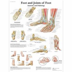Joints Of The Foot Diagram Types Feathers Anatomical Charts And Posters Anatomy Ankle Chart Pathology 1001490 Vr1176l