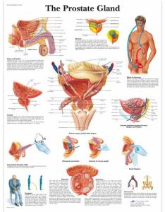 The prostate gland chart vr uu men   health education also anatomical charts and posters rh  bs