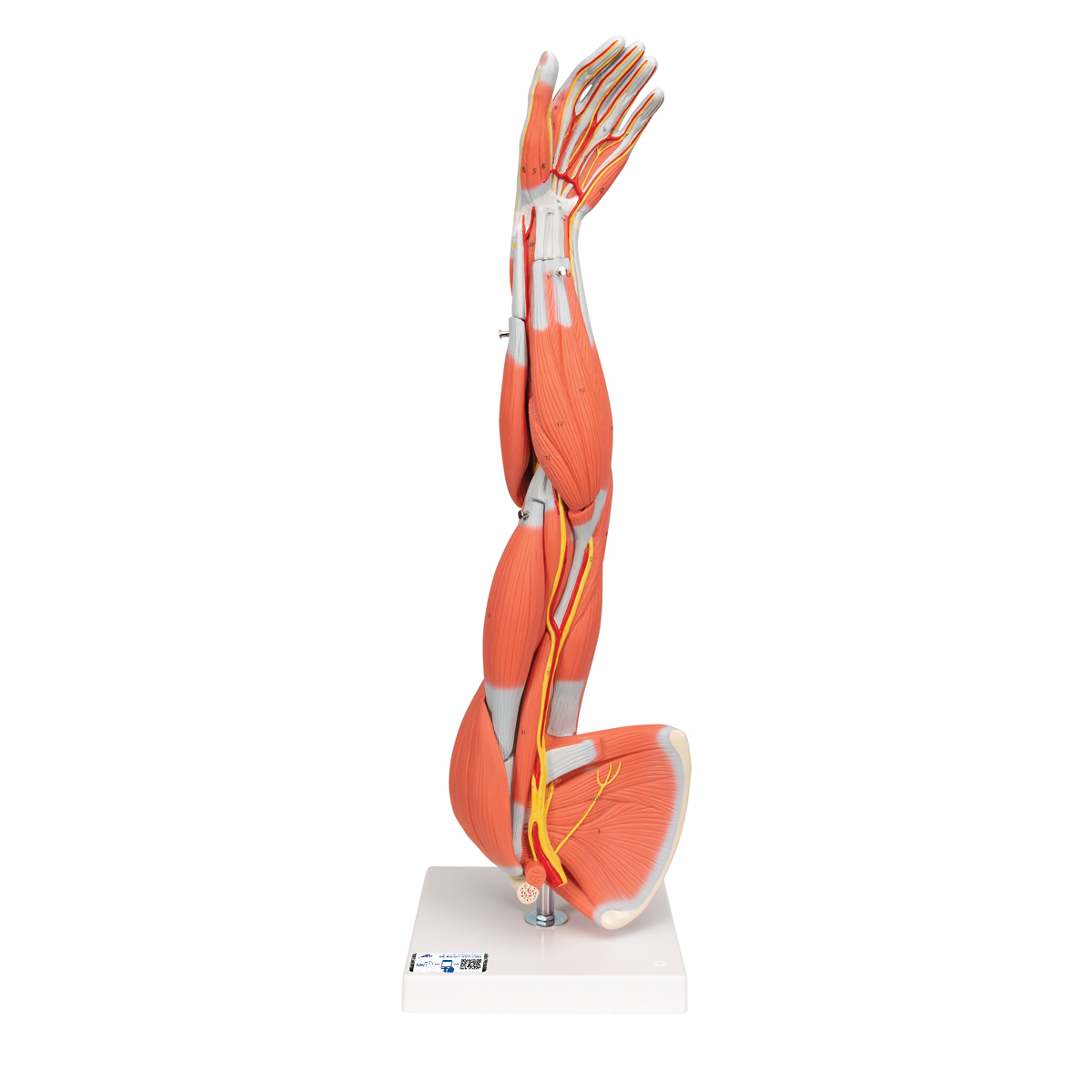 Anatomical Teaching Models Plastic Human Muscle Models